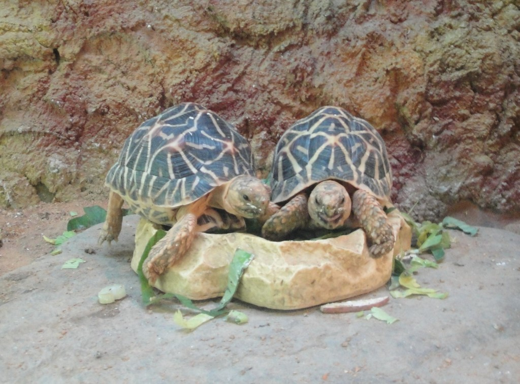 В зоопарке Сиингапура, Черепахи