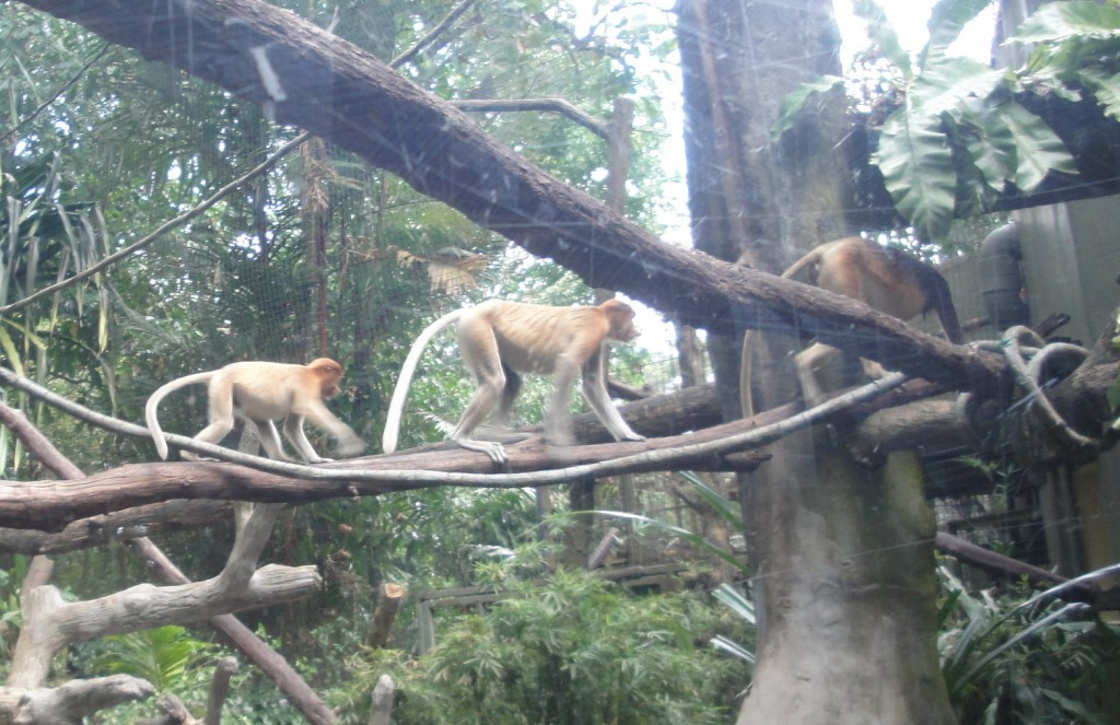 Мартышки в Зоопарке Сингапура, Мартышки