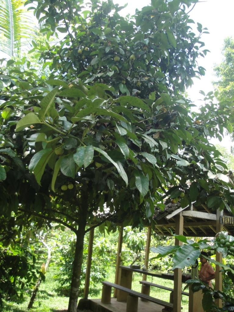 Так растут мангустины