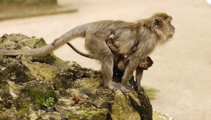 фото обезьянки с детёнышем, пещерв Бату, Куала Лумпур