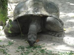 Зоопарк Сингапура, огромная черепаха.
