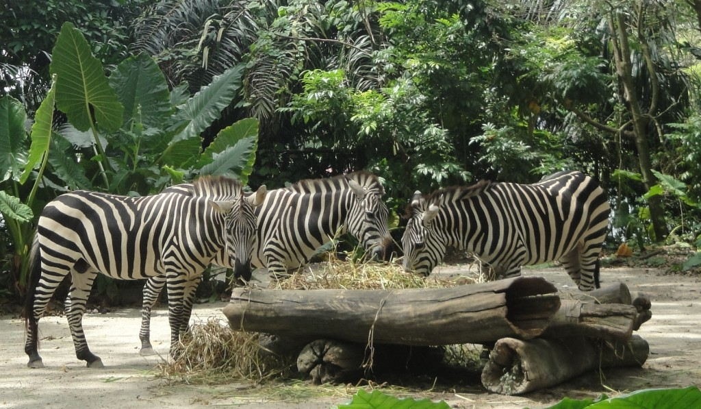 Зебры в Зоопарке Сингапура, зебры