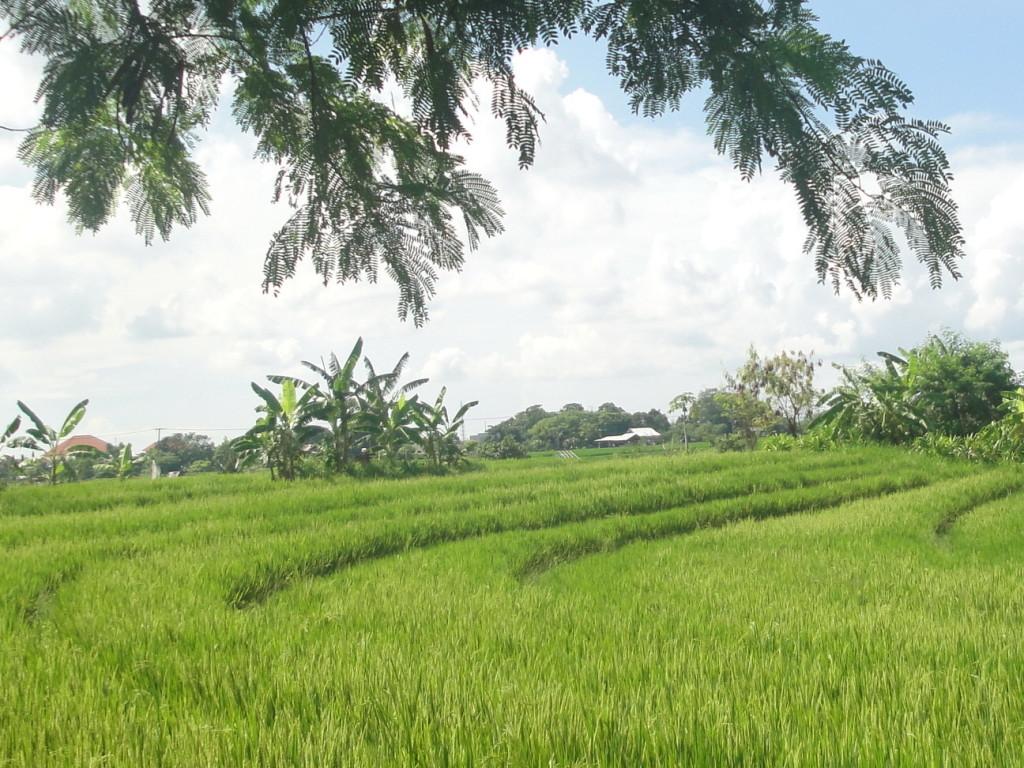 Рисовое поле на Бали