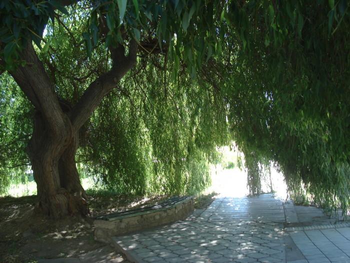 Ива на Иссык-Куле
