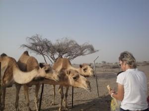 На верблюжьей ферме