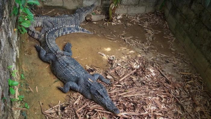 Крокодил в зоопарке фото