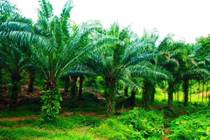 пальмовая роща