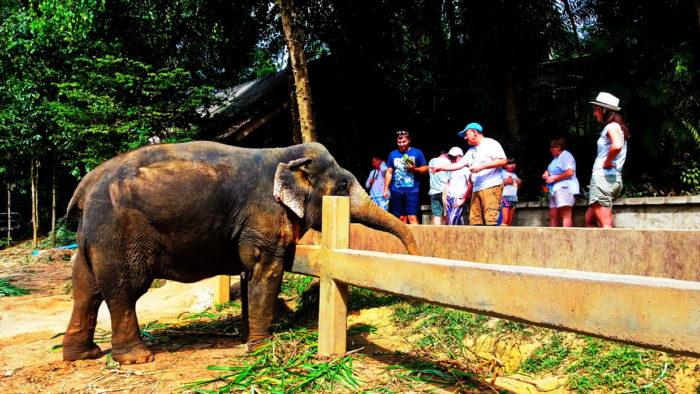 Беременная слониха