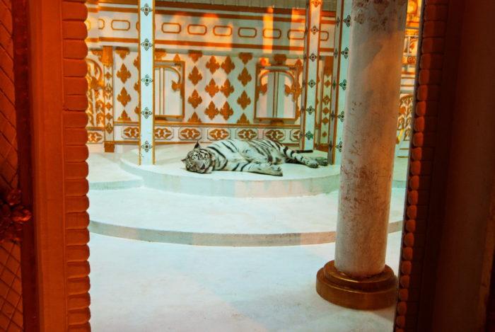 Белый тигр фото животного